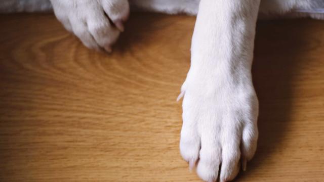 Cão fica parcialmente cego após passeio em Viseu