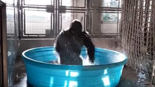 A dança de Zola, uma gorila que já ficou viral