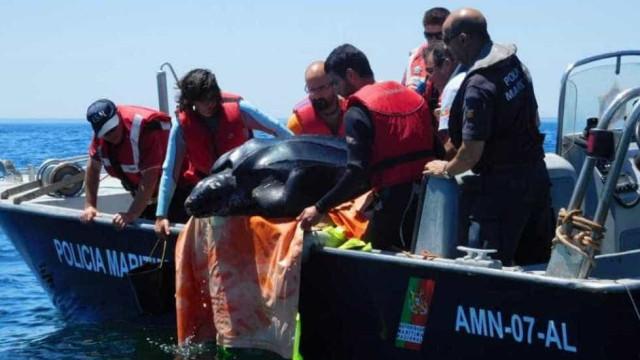 Imagens do regresso de uma tartaruga ao mar em Aveiro
