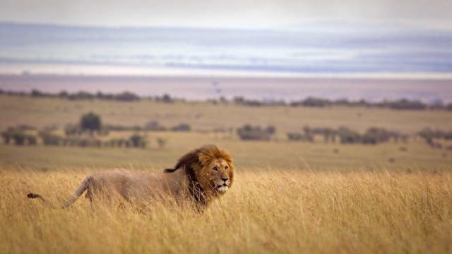 Quatro leões fugiram do parque Kruger
