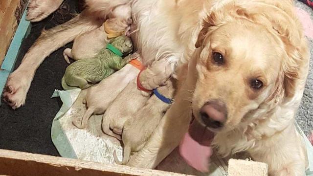 Na Escócia, golden retriever deu à luz um cachorro... verde