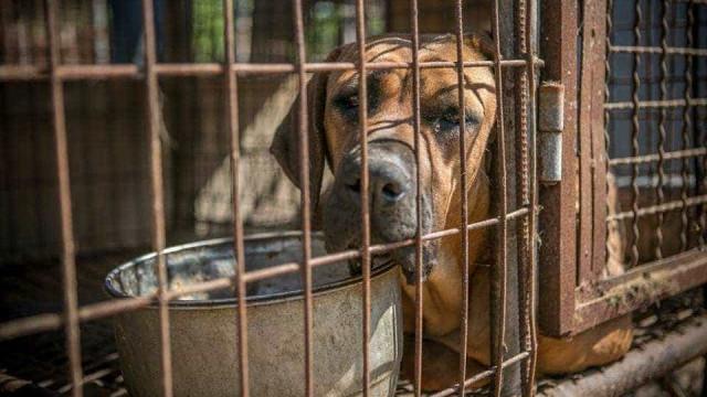 Resgatados 149 cães prestes a serem usados para... fazer sopa tradicional