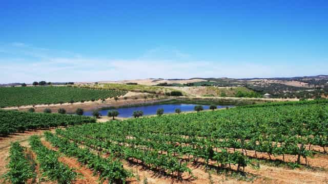 Novas plantações de vinha limitadas em algumas regiões a partir de amanhã