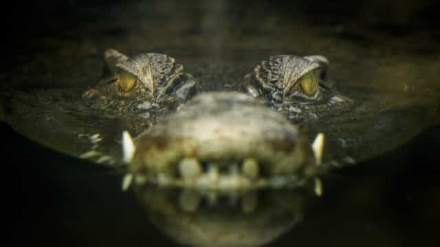 Aumento de ataques de crocodilo nas Ilhas Salomão assusta autoridades