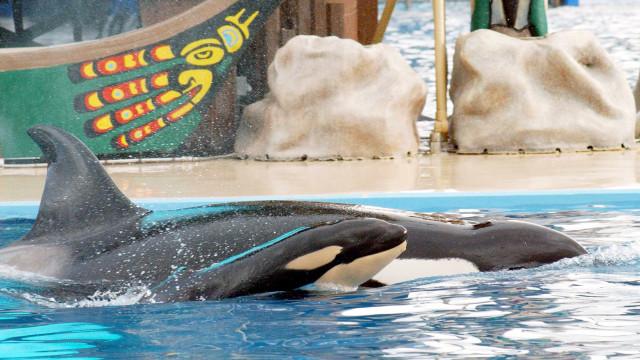 Morreu Kyara, a última orca nascida em cativeiro no SeaWorld