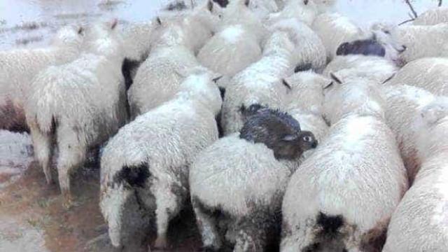 Coelhos salvam-se de cheias na Nova Zelândia graças a 'boleia' de ovelhas