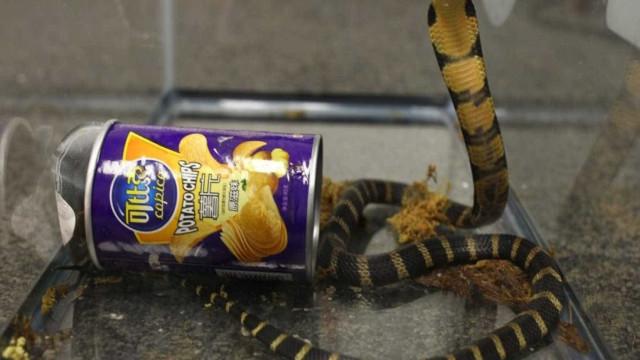 Americano preso por traficar cobras venenosas em latas de batatas fritas