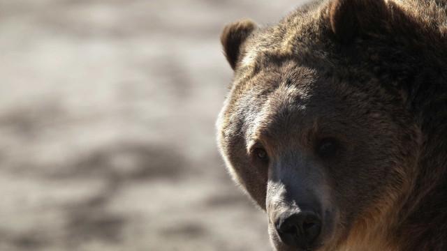 Urso mata tratador de zoo na Suécia
