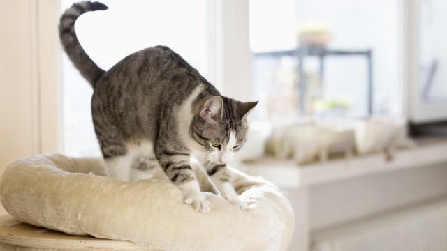 Porque é que os gatos gostam de massajar?