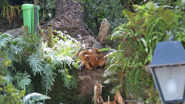 Queda de árvore: Ministério Público interrompe peritagens da autarquia