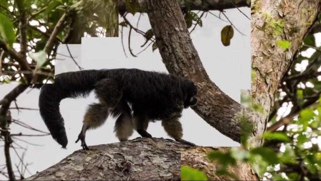 Macaco raro da Amazónia avistado pela primeira vez em 80 anos