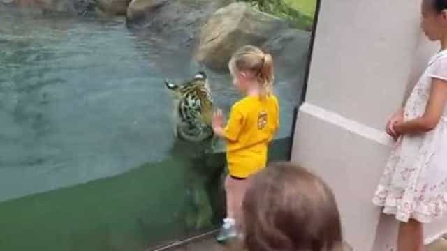 Tigre e menina protagonizam amizade invulgar