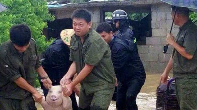 Este porco não conseguiu conter a alegria ao ser salvo. A internet adorou