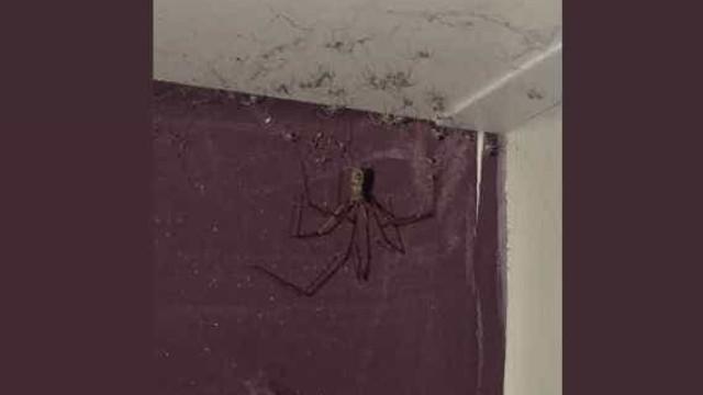 Jovem encontra aranha gigante no tecto do quarto