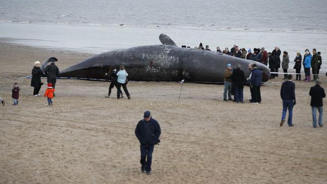 Resolvido mistério das baleias que deram à costa no ano passado