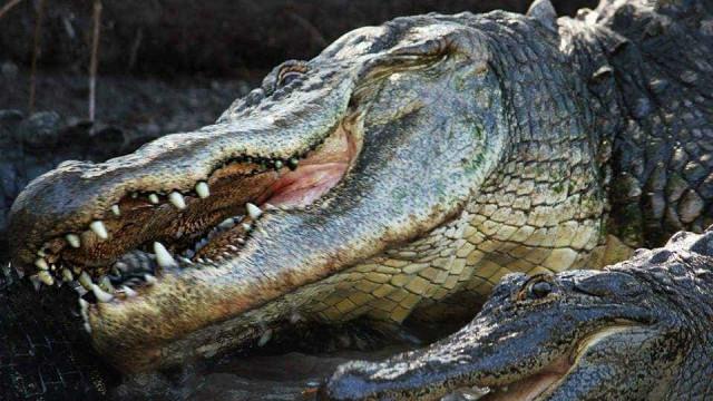 O Irma chega mas os crocodilos não escapam