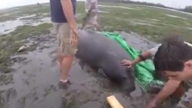Manatins encalhados em praia da Florida são salvos por grupo de pessoas