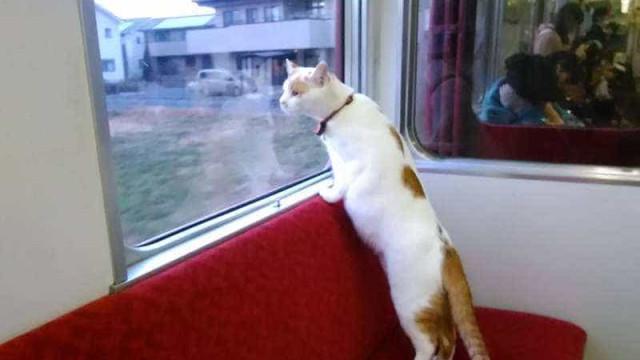 No Japão, não é estranho entrar numa carruagem de comboio cheia de gatos