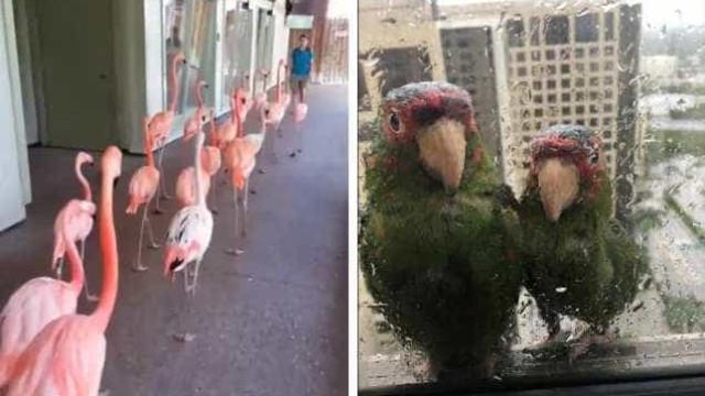 Flamingos e papagaios. Como alguns animais procuraram abrigo do Irma