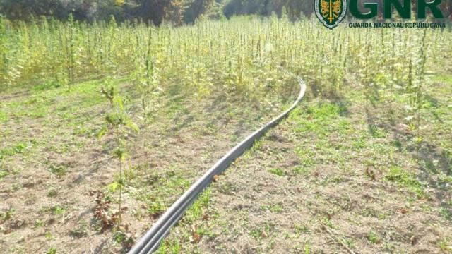 GNR apreende mais de 13 mil plantas de canábis em Amarante