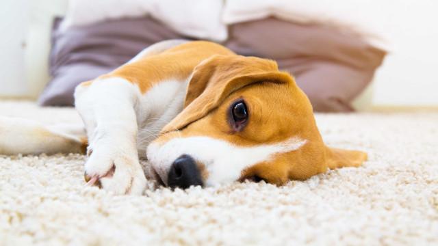 Cães reconhecem-se pelo cheiro... não pela própria imagem