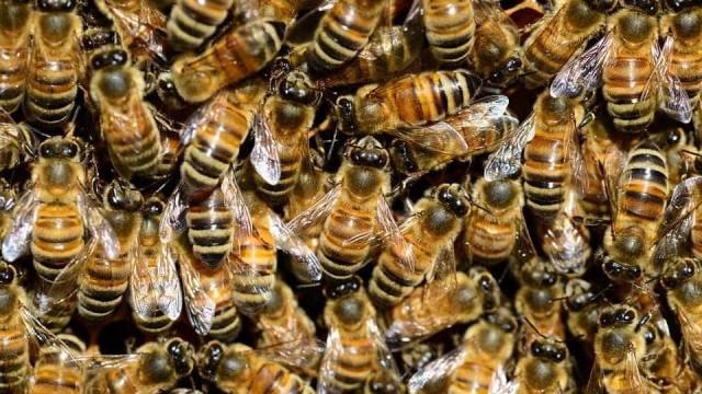 Morre depois de submeter-se a terapia com picadas de abelha