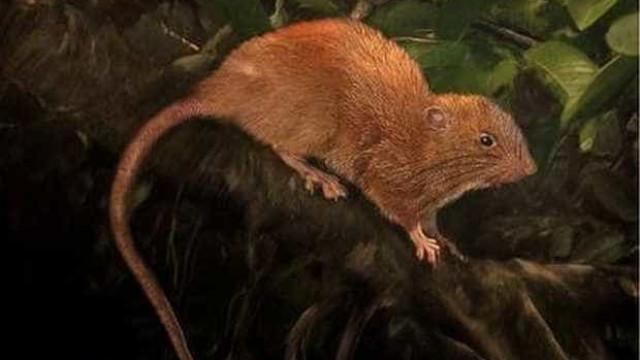 Descoberta nova espécie de ratazana com quase meio metro
