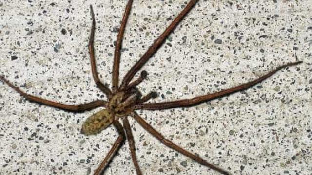 Reino Unido prepara-se para 'invasão' de aranhas gigantes