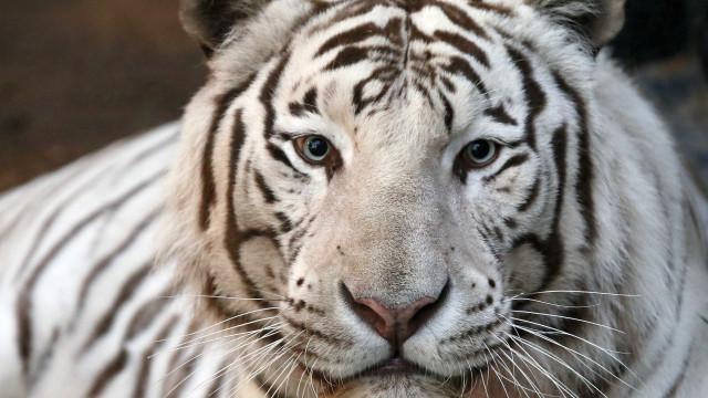 Tratador de zoo morto por tigres brancos na Índia