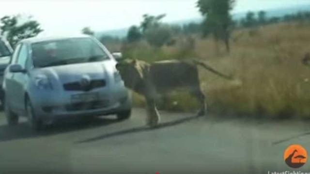 Quando o rei da selva se assusta e foge por causa de um pneu