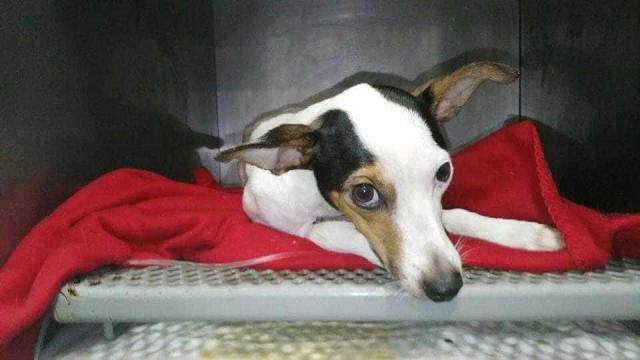 Petra, a cadela mal-tratada que tinha buchas e uma lâmpada na vagina
