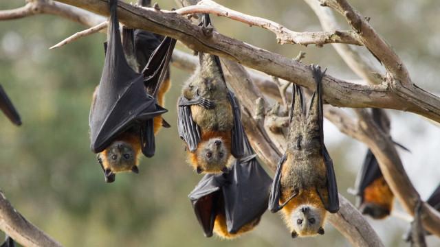 Há quem use dentes de morcego como moeda de troca para negociar