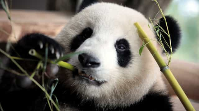 Tratadores de zoo tentam arranjar-lhe namorado panda para corrigir hábito