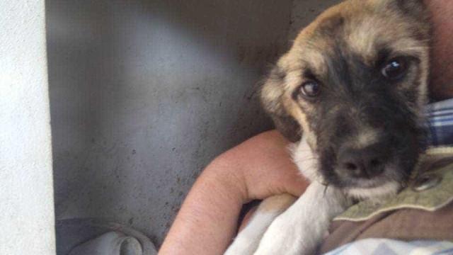 Cadela encontrada em Tocha após os incêndios. Procuram-se os donos