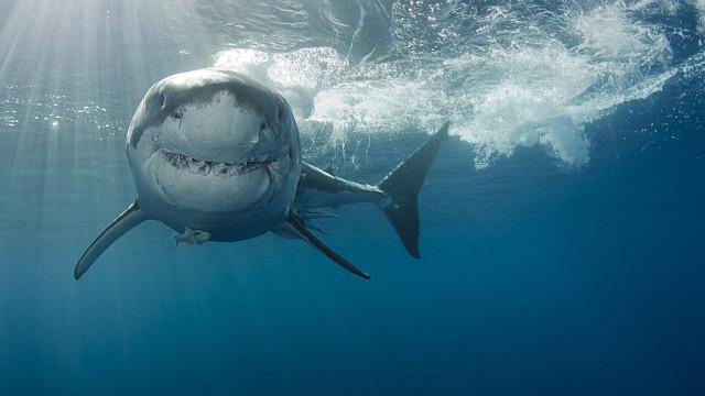 Perigosos? Há muitas coisas que matam mais do que um tubarão