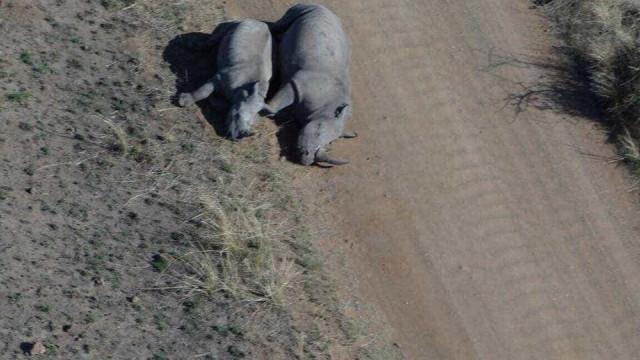 Rinoceronte grávida e cria abatidas por caçadores furtivos