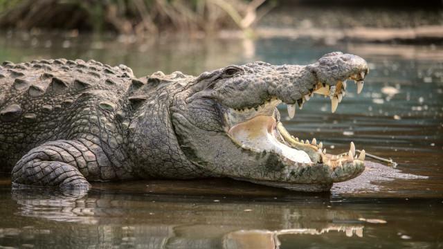 Senhorio foi despejar inquilino e encontrou um crocodilo no jacuzzi