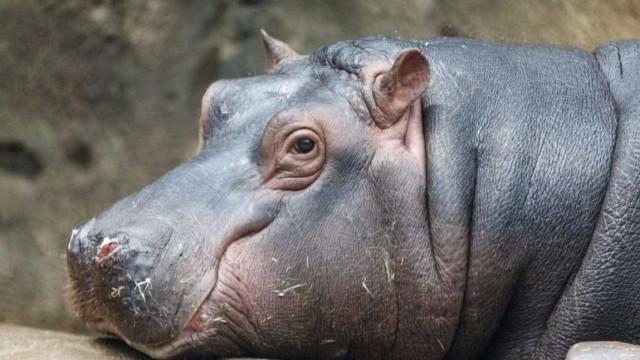 """Pescador """"pensava que ia morrer"""" após ataque de hipopótamo no Quénia"""