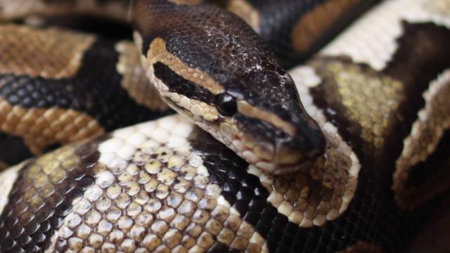 Zoo na China criticado por alimentar cobras pitão com cachorros
