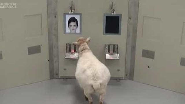 Ovelhas reconhecem fotos de famosos. Eis o que significa para a ciência
