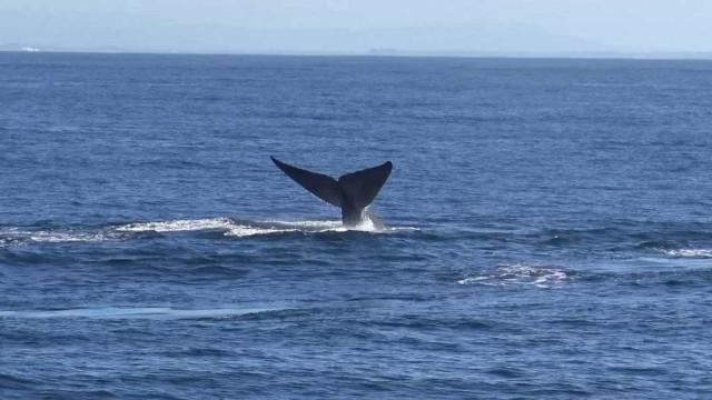 Baleia encalhou esta manhã na praia de Monte Gordo
