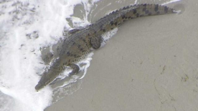 Quando os banhistas fogem da praia porque chega... um crocodilo