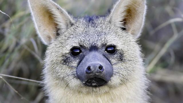 Sabe o que é um lobo-da-terra?