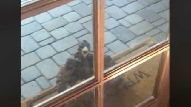 Acordou com um falcão a 'gritar' à porta. Eis o vídeo