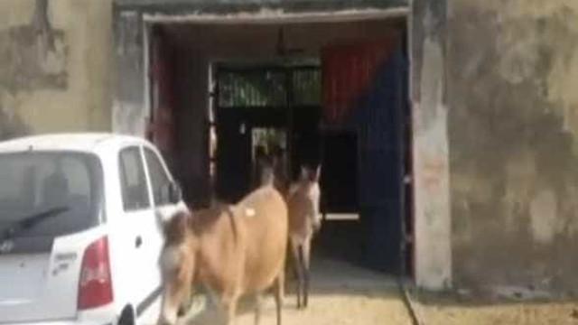 Quatro burros invadem jardim de prisão. Ficam 'detidos' por quatro dias
