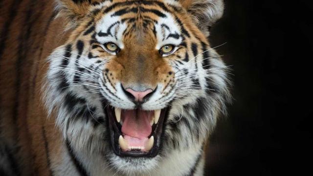 Baile de finalistas em liceu dos EUA contou com tigre enjaulado