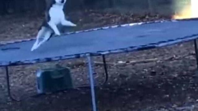 Husky 'apanhado' a saltar, secretamente, em trampolim