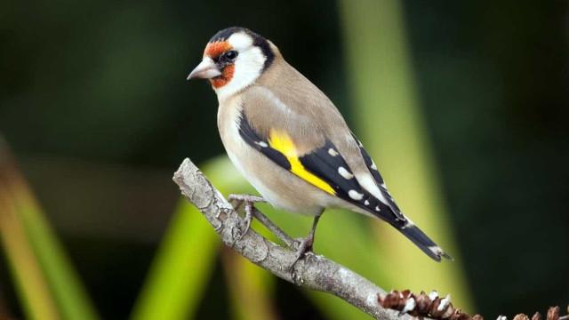 Quatro detidos por venda de aves de espécies protegidas