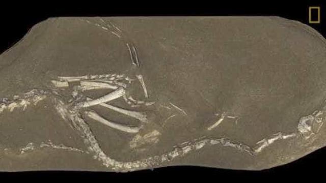 Encontrado fóssil raro na Mongólia de dinossauro parecido com patos