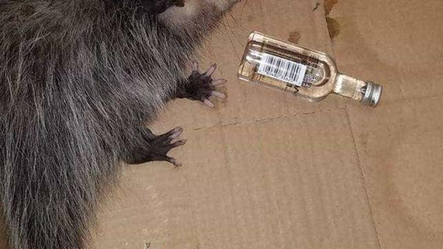 Gambá invadiu loja de bebidas e apanhou bebedeira com uísque